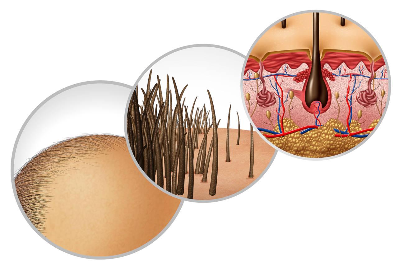 la repousse des cheveux dépend du bon déroulement du cycle pilaire