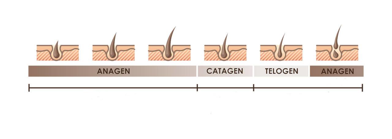 la perte de cheveux peut aussi être influencée par votre cycle pilaire