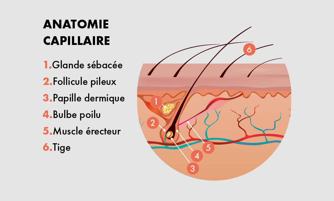 les follicules pileux sont preleves de votre zone donneuses et constituent la base du greffon cheveu