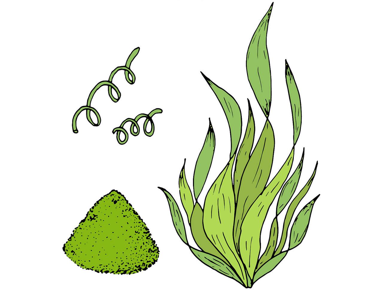 la spiruline est une cyanobacterie decouverte par les civilisations precolombiennes