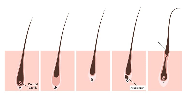 Regeneration der Haare Haarzyklus Info Grafik