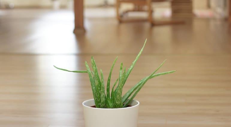 Aloe Vera gegen Haarausfall - Pflanze