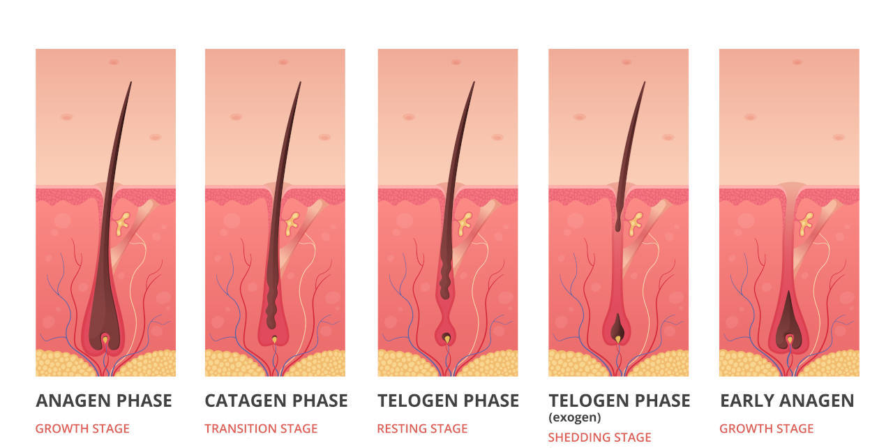 here are the 4 stages of the human hair life cycle