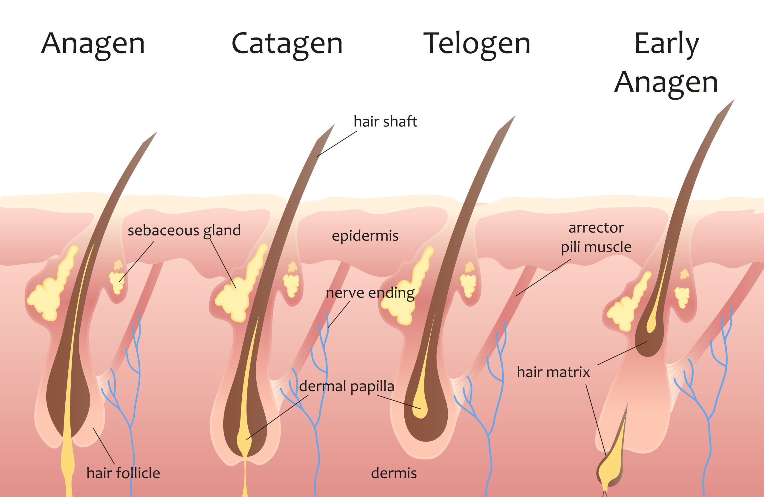 A graphic explaining the hair root growth cycle