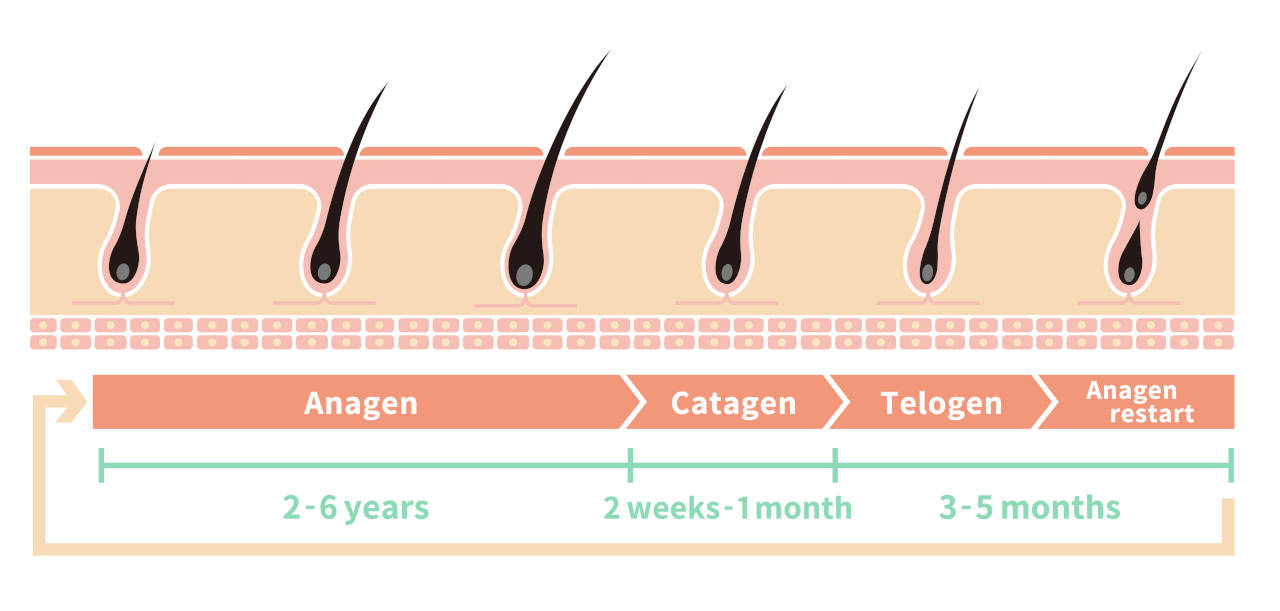 the hair growth cycle showing the complete life cycle of a hair strand